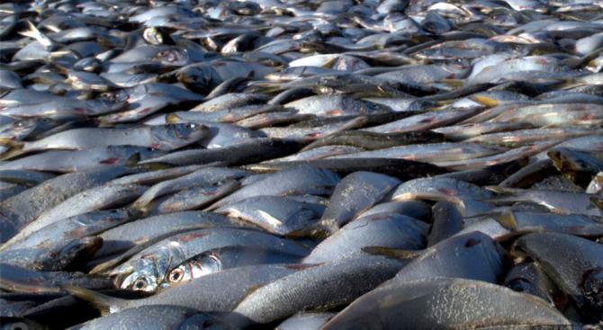 Конфискуваха 1.2 тона незаконна риба в Айтос