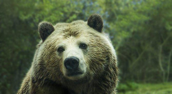 Танцуващите мечки край Белица заспаха зимен сън