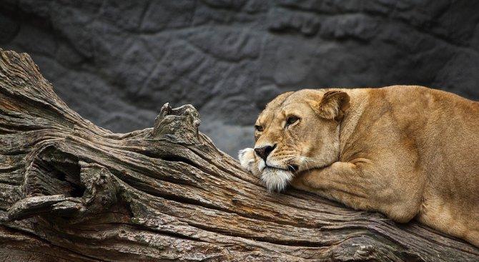 Лъвицата от разградския зоокът отново е бременна