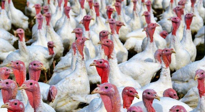 """Опасността от """"птичи грип"""" в Ямболско не е преминала"""