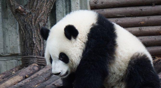 В зоопарка в Токио най-накрая показаха бебето панда (видео)