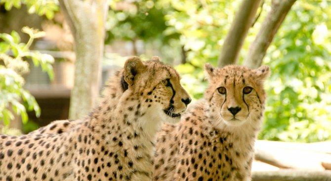 Гепардът Бингва роди осем малки (видео)