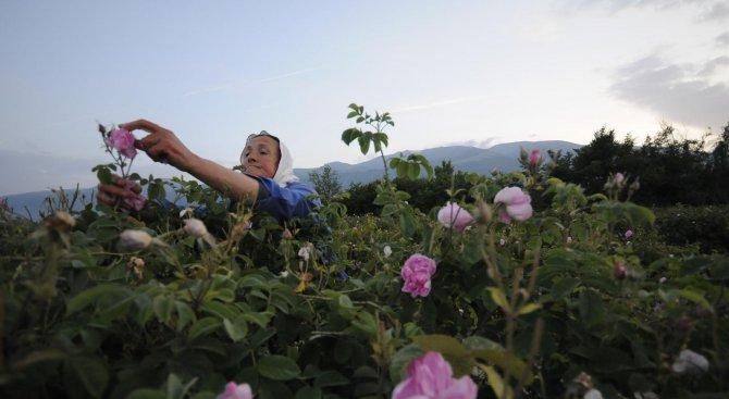 Производствена база за розово масло ще бъде изградена в Добричко