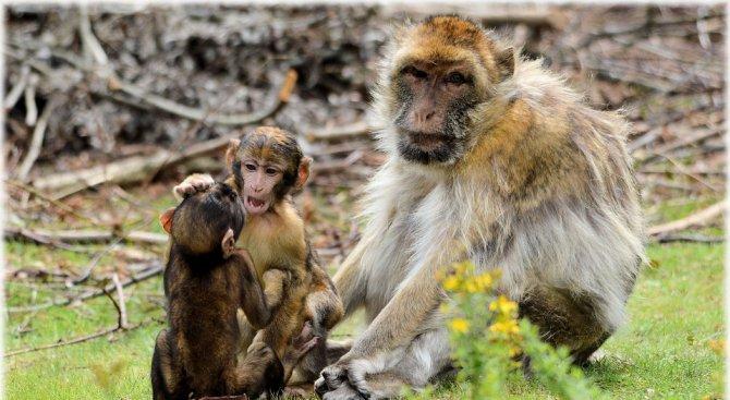 Успешно клонираха примати в Китай