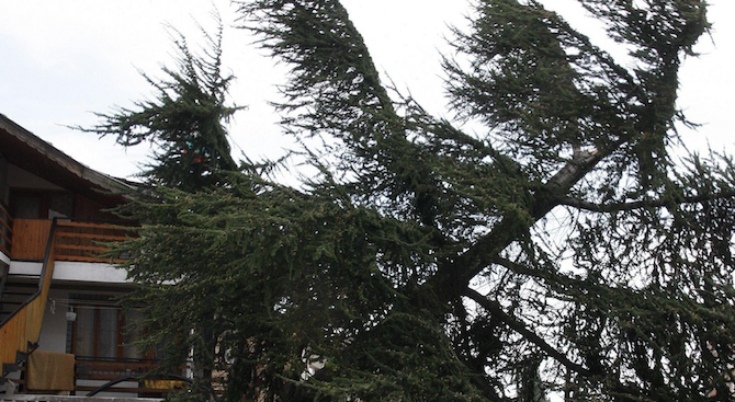 10-метров бор надвисна над улица в софийски квартал
