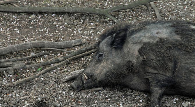 Ограничаваме популацията на диви прасета като мярка против африканската чума