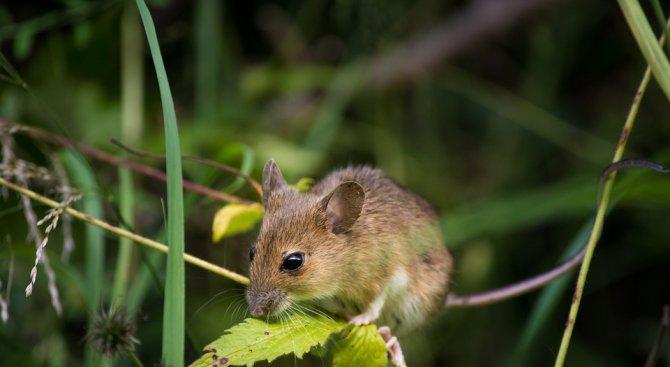 Има опасност от разпространение на полски мишки в масивите с пшеница заради топлата зима
