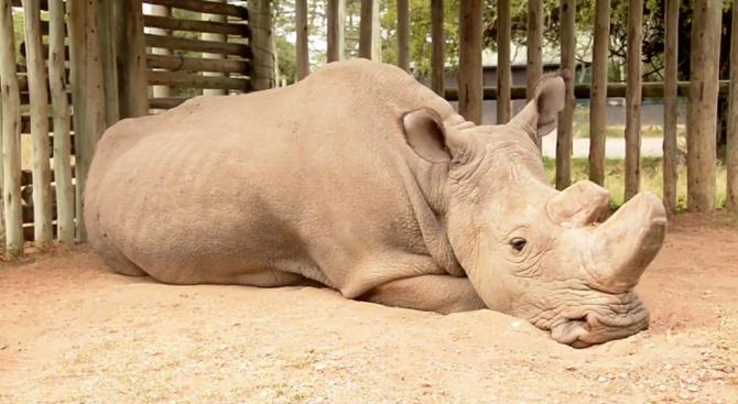 Почина последният мъжки северен бял носорог