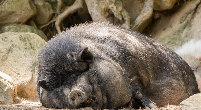 Около 30 процента от свиневъдството в България е в Русенско