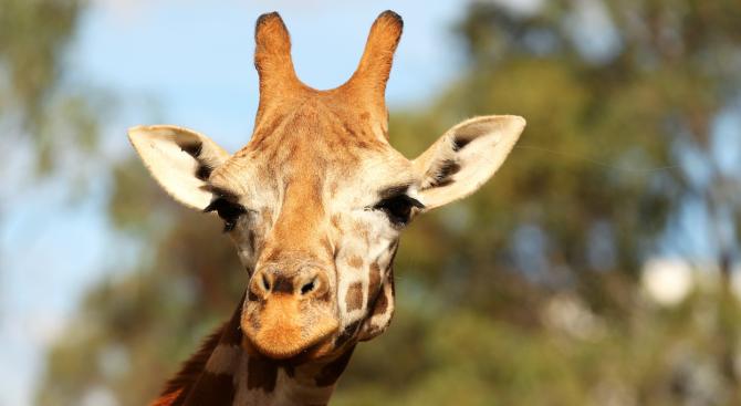 Бебе жираф избяга от зоопарк в американски щат (снимки)