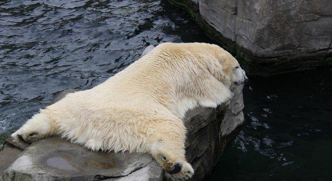 Приспаха първата полярна мечка, родена в тропиците