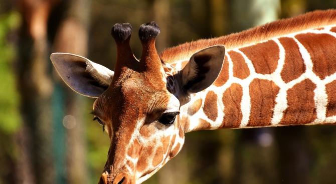 Жираф уби известен режисьор