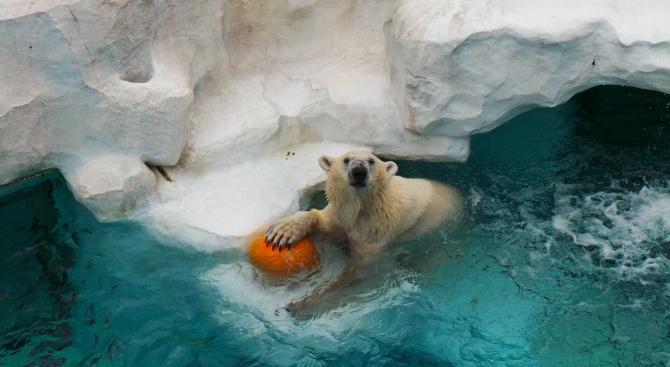 Бяла мечка преяде с шоколад и се заклещи в прозорец