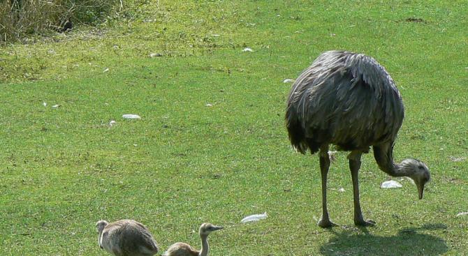 """6 птици нанду се измътиха в Зоокът """"Павликени"""""""