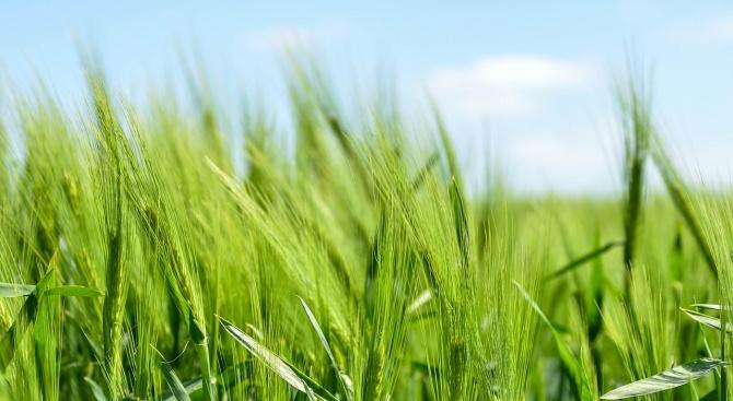 Земеделци прибраха 9877 тона фуражно зърно