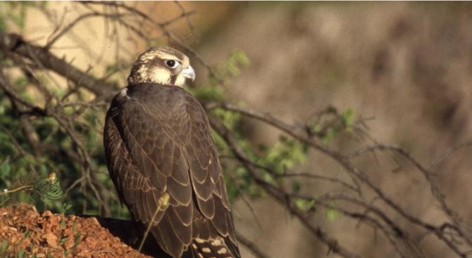 Ловният сокол отново гнезди в България