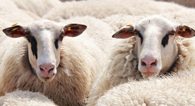 Ето как е дошла чумата по овцете и козите у нас