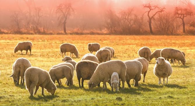 Манастирът край село Гигинци дарява овце за пострадалите от чумата райони