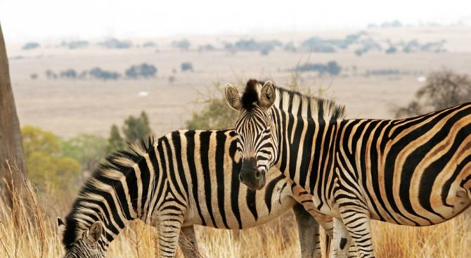 Строежът на нова жп линия заплашва дивата природа на Кения