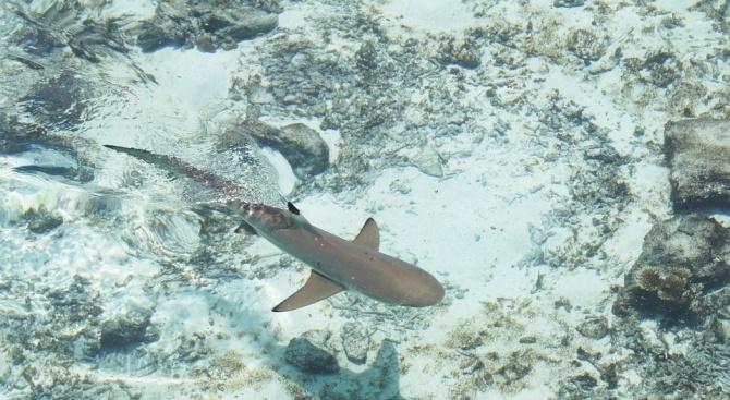 Учени откриха нов вид акули (снимка)