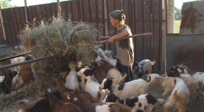 Евтаназираха стадото на баба Дора (обновена)