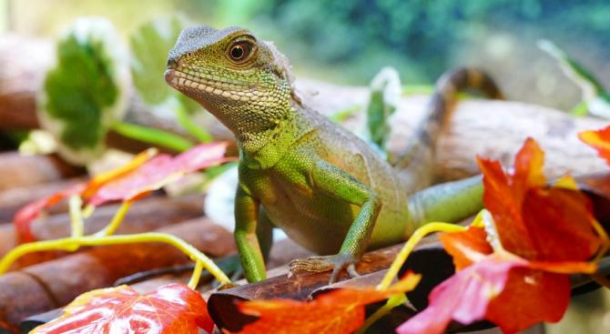 Учени разгадаха как тропическите гущери устояват на бурите