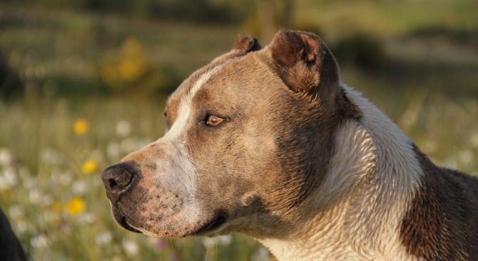 Питбулите - колко опасни са тези кучета и как да ги опитомим