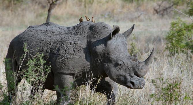 Носорог подгони джип в сафари парк в Мексико (видео)