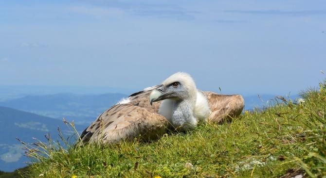 Освободиха лешояди, отгледани в изкуствено гнездо в България