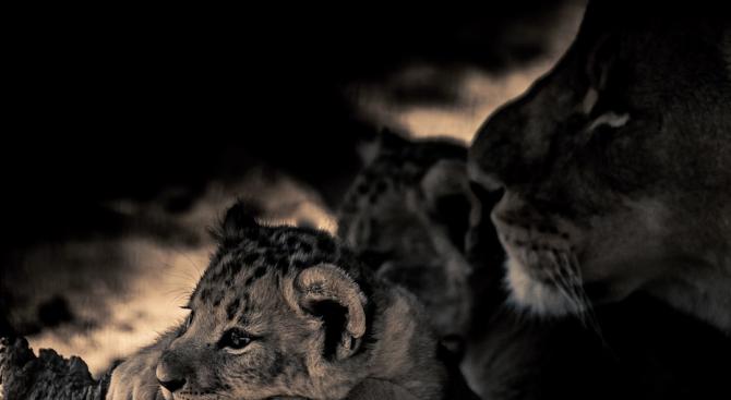 Родиха се първите лъвчета инвитро