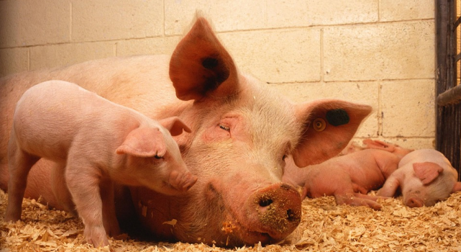 Над 1700 свине се отглеждат в дворове в Добричкия регион