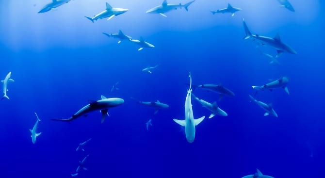 Учени откриха акули, които се хранят с водорасли