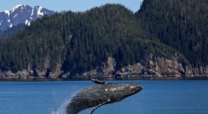 Държавите-ловци спънаха създаването на убежище за китове