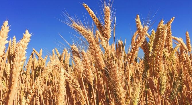 Експерти: Хлебният баланс на страната е осигурен, но пшеницата е с по-слаби хлебопекарни качества