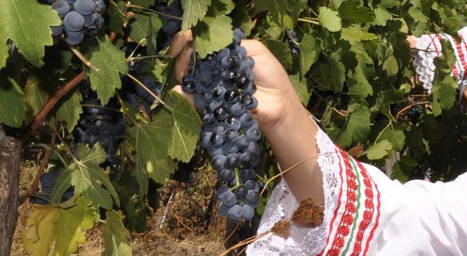 Порожанов: Очакваме добра реколта от грозде тази година