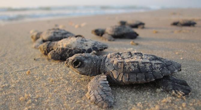Пластмасата в океана е особено опасна за новоизлюпените морски костенурки