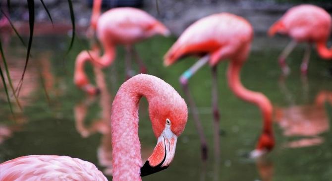 Експерти на РИОСВ спасиха бедстващо розово фламинго в Китен (снимки)