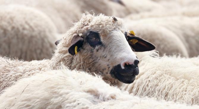 Собствениците на починалите овце в Болярово: Не e от чума, от преяждане е