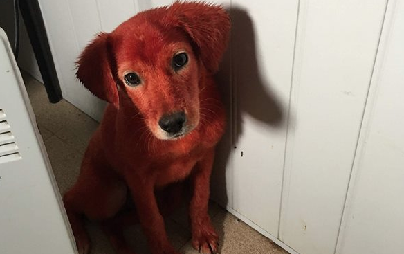 Боядисаното кученце Реди вече си има стопанин (видео)