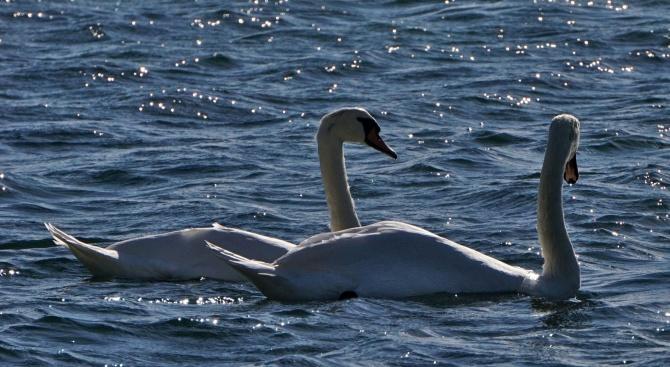 Първите лебеди пристигнаха на плажа във Варна (снимки)