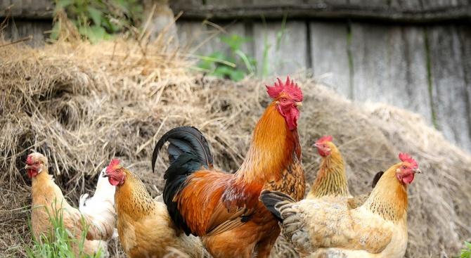 Ново преброяване на животните в задните дворове започва в Добричка област