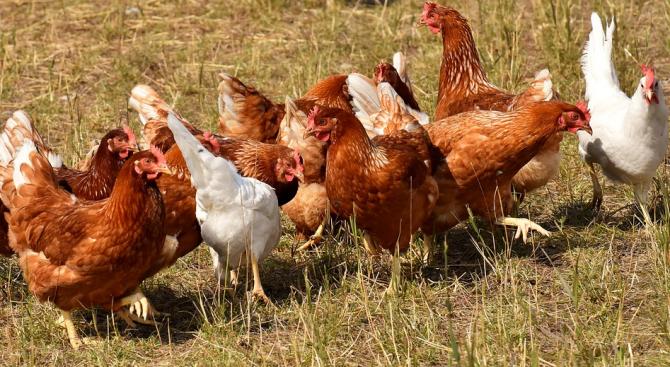 БАБХ въвежда програма за засилен надзор на птицевъдните обекти в страната