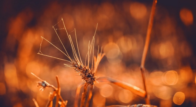 Внимание! Житни мухи по есенниците