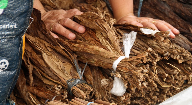 Тютюнева реколта 2018 в Кърджалийско бележи спад