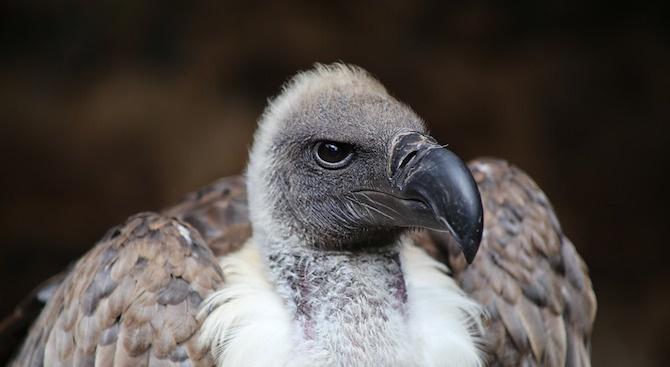 Изградиха още две гнезда за черен лешояд в Родопите