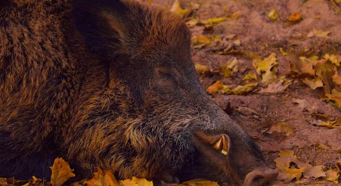 Българското министерство на земеделието е в контакт с румънските компетентни органи във връзка с африканската чума по свинете