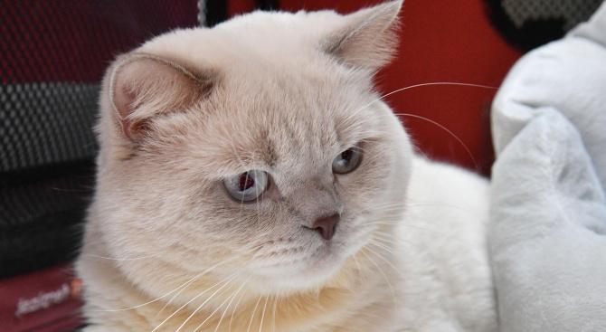 Международна изложба на котки радва жителите и гостите на София (снимки)