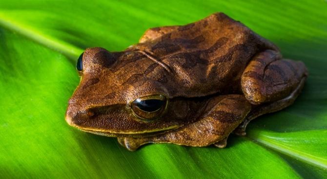 Биолози откриха нов вид миниатюрна жаба