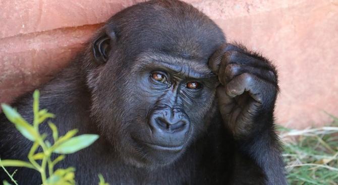Големите маймуни и гарваните планират различно от хората