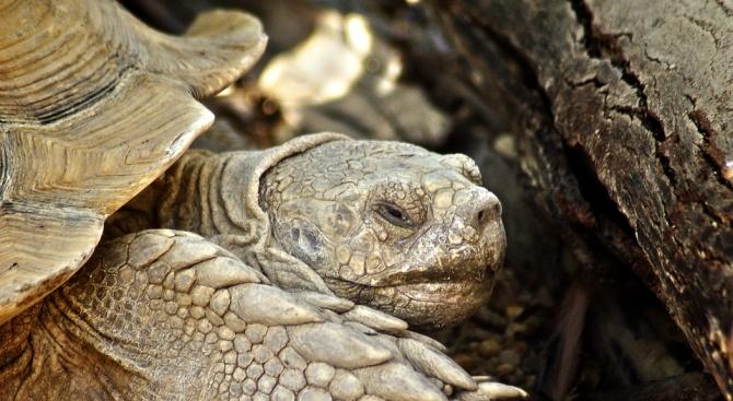 Тайната на дълголетието на галапагоските костенурки се крие в тяхната ДНК